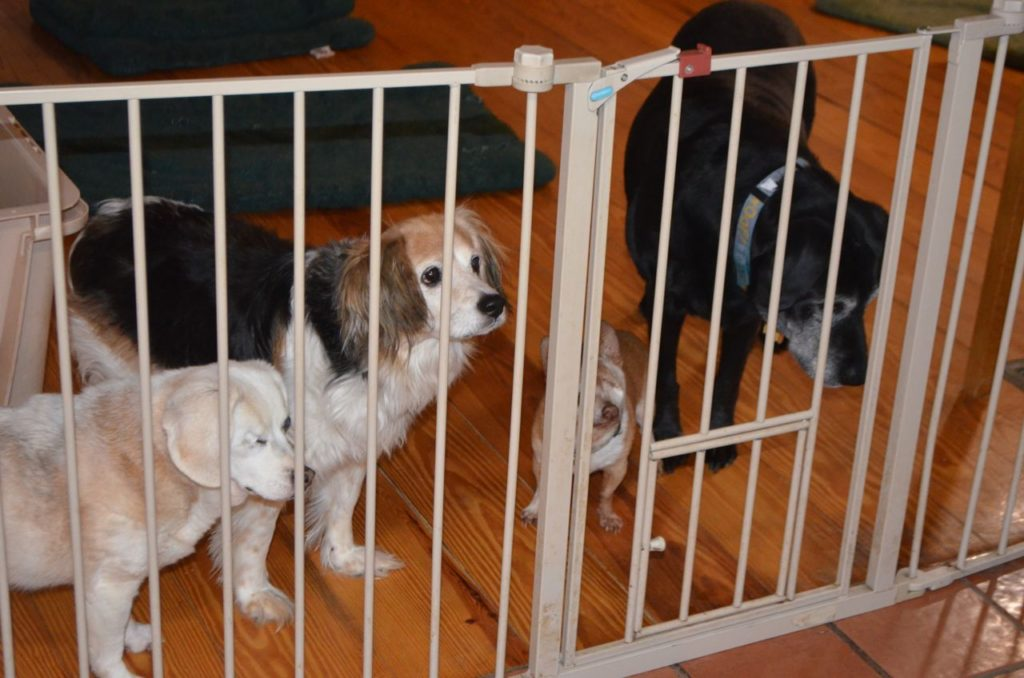 Dogs at gate