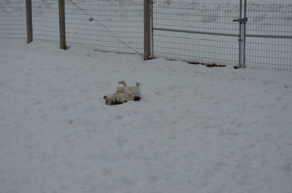 Esther rolling in snow 1