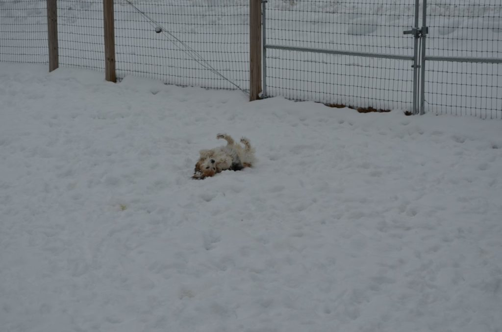 Esther rolling in snow 2