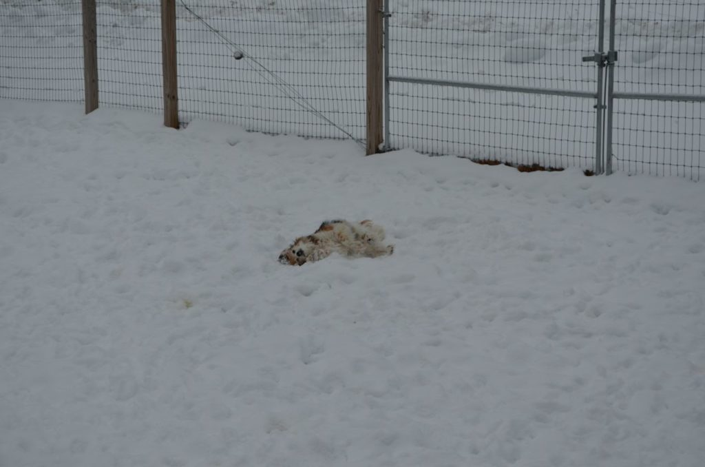 Esther rolling in snow 3