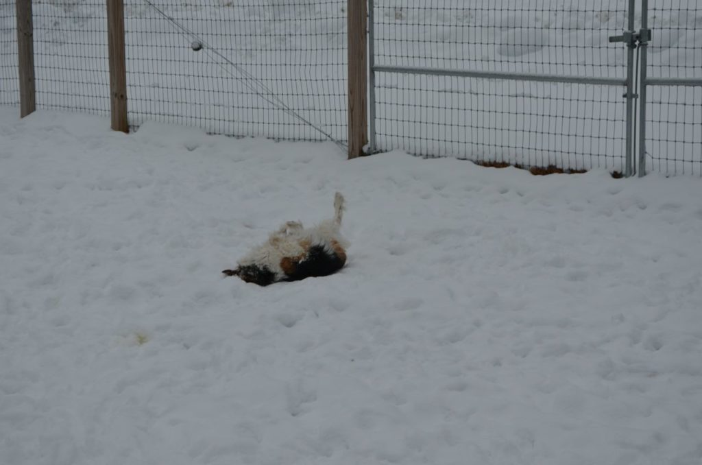 Esther rolling in snow 5
