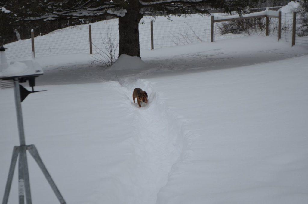 Bugsy on snowy trail