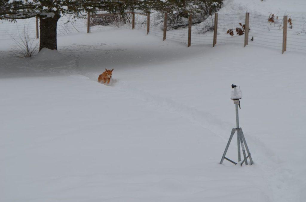 Darla on snowy trail