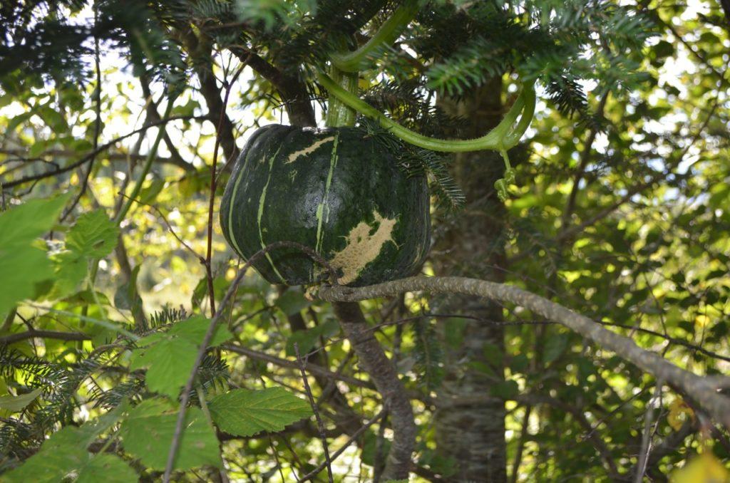 Squash in tree 2
