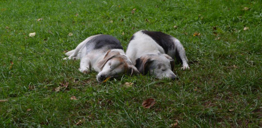 Beagle Buddies